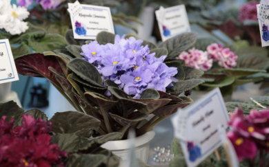 У квітнику колекціонерки з Краматорська тисячу сортів фіалок